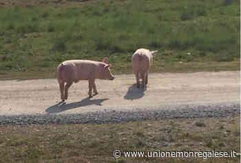Due maiali sulla Fondovalle a Farigliano: recuperati da un allevatore - Unione Monregalese