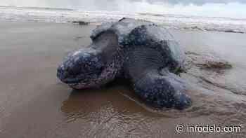 Así volvió al mar una tortuga de 200 kilos en San Clemente - Infocielo