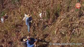 Cosecha de maíz seco en Tonosí - Telemetro
