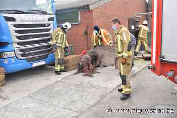 Speciaal team van brandweer redt varkens uit beerput
