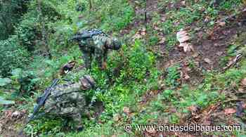 En Rioblanco erradicaron cultivo de coca avaluado en 32 millones de pesos - Ondas de Ibagué