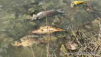 Moria di pesci lungo il Rio Serva tra Mogliano e Preganziol - TrevisoToday