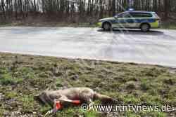 Ahrensfelde: Wolf bei Unfall auf dem Ostring getötet - RTN - News und Bilder aus dem Norden