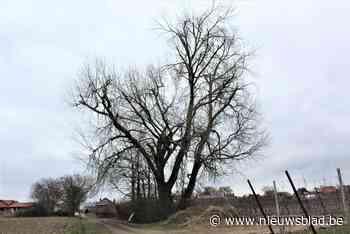 Kostbare boom in Wellen mag nu toch niet meer omgehakt worden - Het Nieuwsblad
