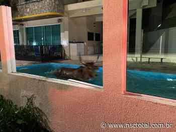 Boi perseguido por farristas se joga em piscina em Bombinhas; assista - NSC Total