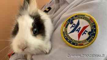 """Toujours pas réclamé, le lapin nain découvert à Hendaye renommé """"Ranger"""" par une policière - France Bleu"""