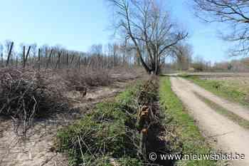 Ondanks verbod: haag rond monumentale boom in Wellen toch al gekapt