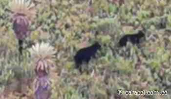 Dos osos andinos fueros vistos en zona de páramo de Gámeza - Caracol Radio