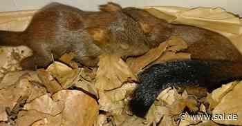 St. Ingbert: Eichhörnchen-Babys gerettet und in Tierauffangstation in Eppelborn gebracht - sol.de
