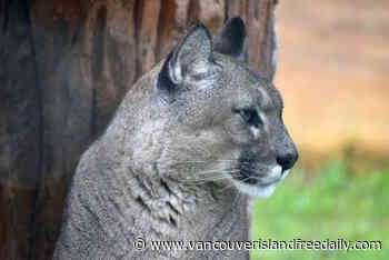 Cougar sighting near Cordova Bay prompts police warning – Vancouver Island Free Daily - vancouverislandfreedaily.com