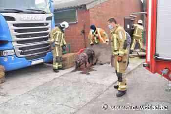 Speciaal team van brandweer redt varkens uit beerput - Het Nieuwsblad