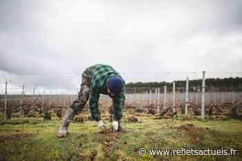Biodiversité : Ruinart s'engage dans son vignoble de Taissy près de Reims - REFLETSACTUELS