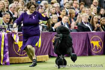 Westminster dog show won't have spectators due to virus - The Independent