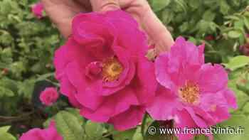 Provins : du Moyen-Âge à aujourd'hui, la rose reine de la ville diffusé le 08 - Franceinfo