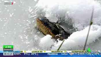 Así sobreviven los caimanes atrapados en los pantanos congelados - LaSexta