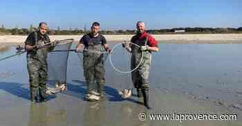 Saint-Martin-de-Crau : 10 tonnes de poissons sauvés d'un plan d'eau asséché - La Provence