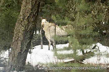 VIDEO: Rare white 'spirit moose' spotted in Cariboo – Ashcroft Cache Creek Journal - Ashcroft Cache Creek Journal