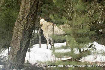VIDEO: Rare white 'spirit moose' spotted in Cariboo – Boundary Creek Times - Boundary Creek Times