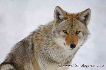 Coyotes sightings in St. John's and Mount Pearl Sunday morning - The Telegram
