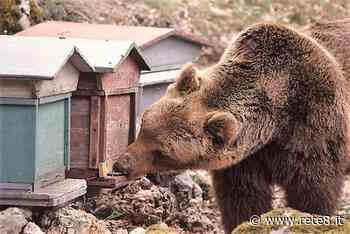 Montereale, orso goloso di miele avvistato in piazza - Rete8 - Rete8