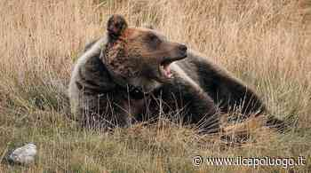 Orso goloso a Montereale prende l'arnia con più miele e scappa - Il Capoluogo - Il Capoluogo