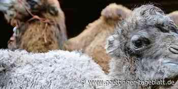 Tierischer Nachwuchs in Hardegsen: Geben Sie diesem Kamel einen Namen - Göttinger Tageblatt