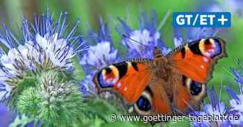 Dransfeld: Friedhöfe sollen Refugien für Wildbienen und Insekten werden - Göttinger Tageblatt