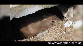 El Talar: Personal de Defensa Civil salvó a un carpincho atrapado en una alcantarilla - InfoBan