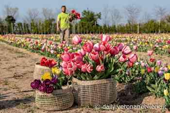 Bussolengo, un campo di 100mila tulipani da raccogliere - Daily Verona Network - Daily Verona Network