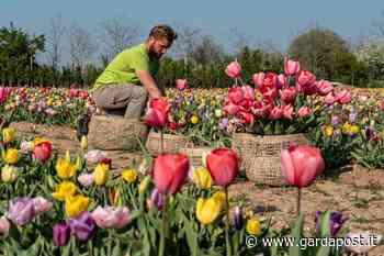 A Bussolengo 100mila tulipani da cogliere – Gardapost - gardapost