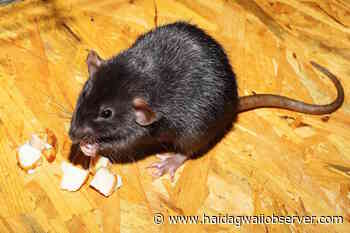 Village of Masset councillor raises concern about increase in rodent complaints – Haida Gwaii Observer - Haida Gwaii Observer