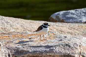 Seltenen Vogel an der renaturierten Elz schützen - Emmendingen - Badische Zeitung