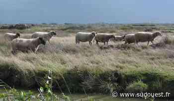 Bergerac : bientôt des moutons sur les berges de la Dordogne - Sud Ouest