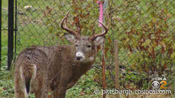 Pa. Hunters Set Record For Most Bucks Harvested During 2020-21 Deer Season