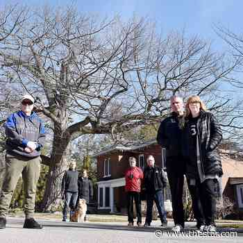 Historic Bowmanville tree could be sheltered with heritage designation - Toronto Star