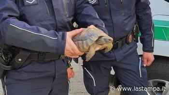 Trovati i proprietari della tartaruga che passeggiava nelle vie di Domodossola - La Stampa