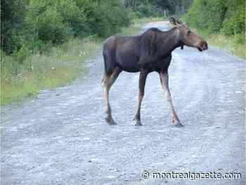 Quebec, Algonquin chiefs place moratorium on moose hunting in La Vérendrye park