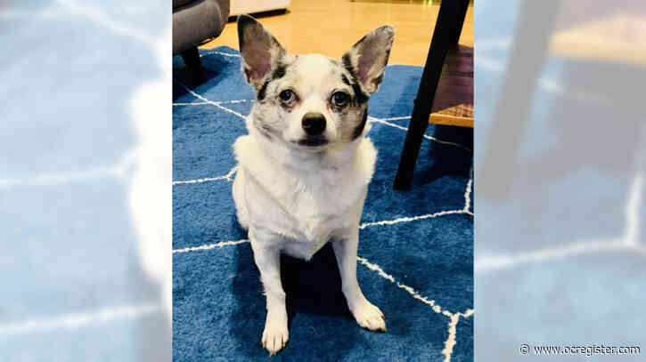 Chihuahua Jacob is a sweet little guy