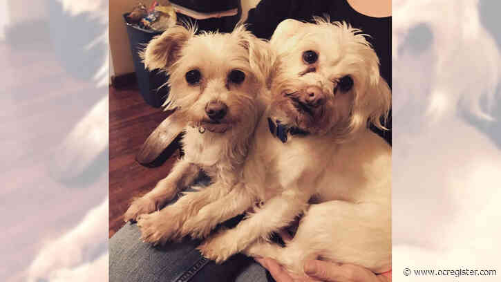 Maltese mixes Kaia and Moose are happy together