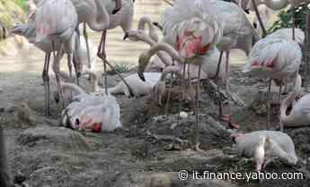 Record 50 uova di fenicottero rosa al Parco di Bussolengo - Yahoo Finanza