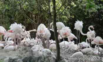 Bussolengo, record di uova per i fenicotteri rosa del Parco natura viva - veronaoggi.it