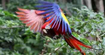 Liberan diez guacamayas rojas, ave en peligro de extinción en Honduras - infobae