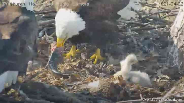 WATCH: Hays Bald Eagle Catches Live Trout, Takes It Back To Nest