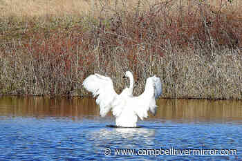 Four months later, rehabilitated Vancouver Island swan released – Campbell River Mirror - Campbell River Mirror