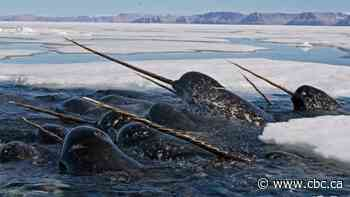 Scientists uncover traces of climate history by cracking open narwhal tusks