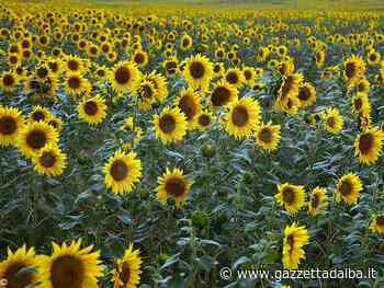 Farigliano vuole abbellire i campi e i giardini piantando girasoli - http://gazzettadalba.it/