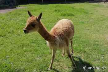 Arequipa: Serfor recupera a cría de vicuña encontrada por comuneros en Orcopampa - Agencia Andina
