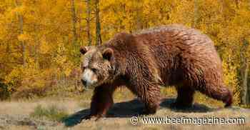 Grizzly bear remains as 'threatened' endangered species