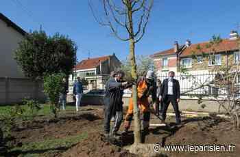 A Maisons-Alfort, 1 000 arbres plantés gratuitement chez les particuliers - Le Parisien