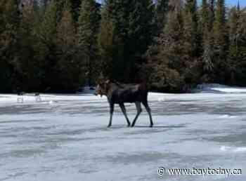 VIDEO: Curious moose has close encounter with thin ice near Thunder Bay